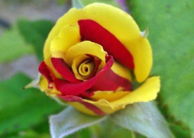 rosa almudena 1