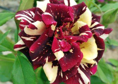 rosa almudena 2