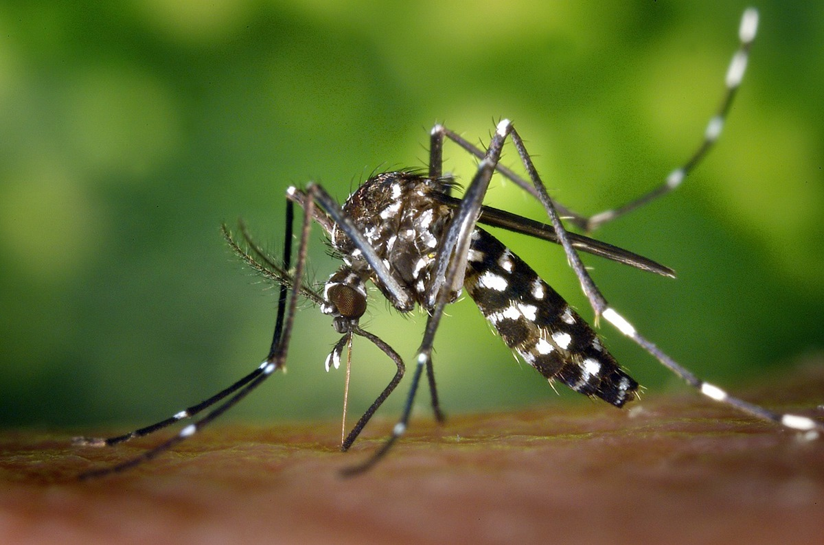 Se refuerzan las actuaciones frente al mosquito tigre