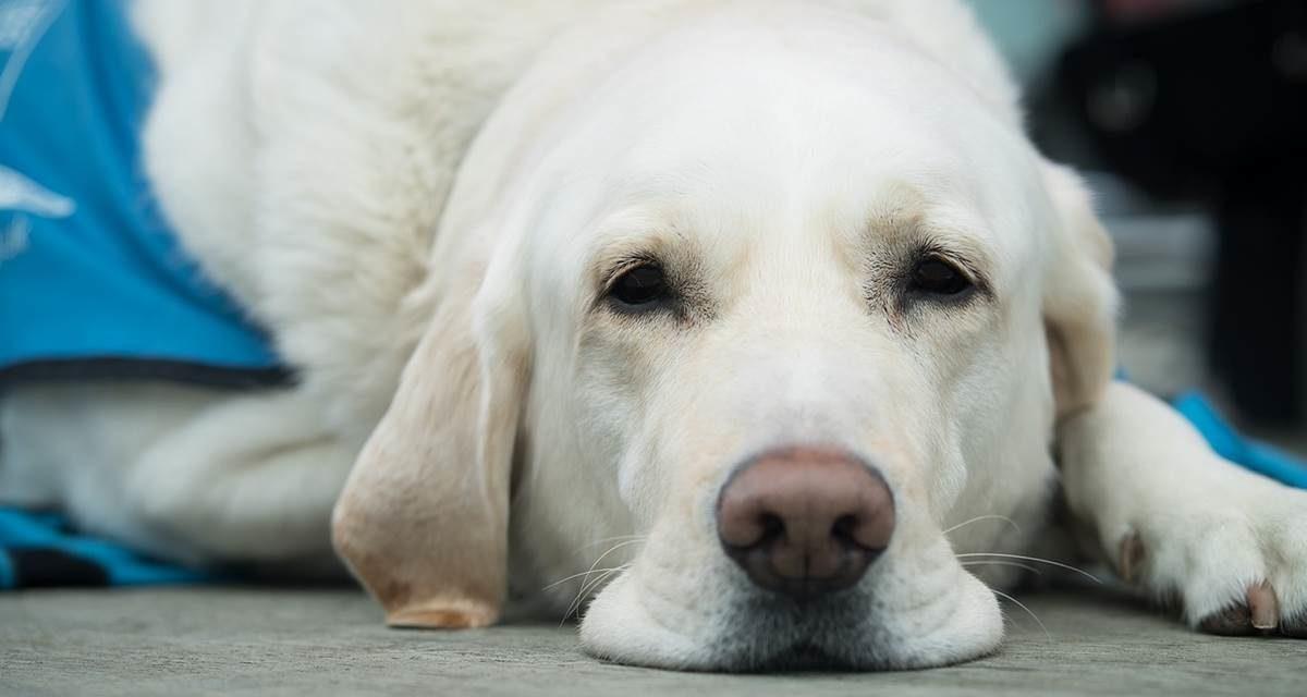 La ONCE realizará una exhibición de perros guía