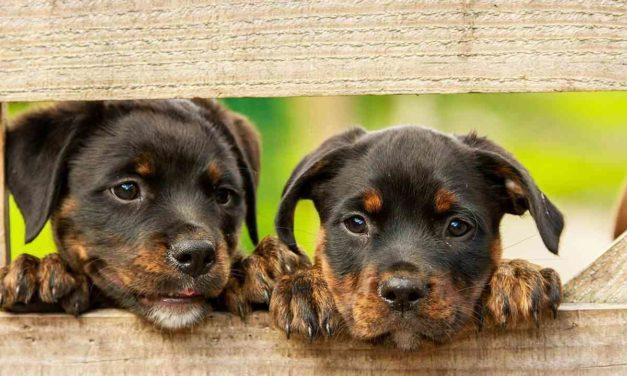 Demostrada en perros la eficacia de un insecticida oral contra la leishmaniasis