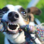 Cepillar los dientes a tu perro: ¿sirve de algo?