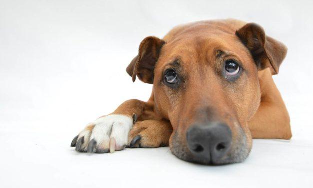 Alzheimer canino: cómo detectar si nuestro perro lo padece