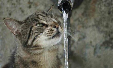 ¿Por qué los gatos prefieren beber agua del grifo?